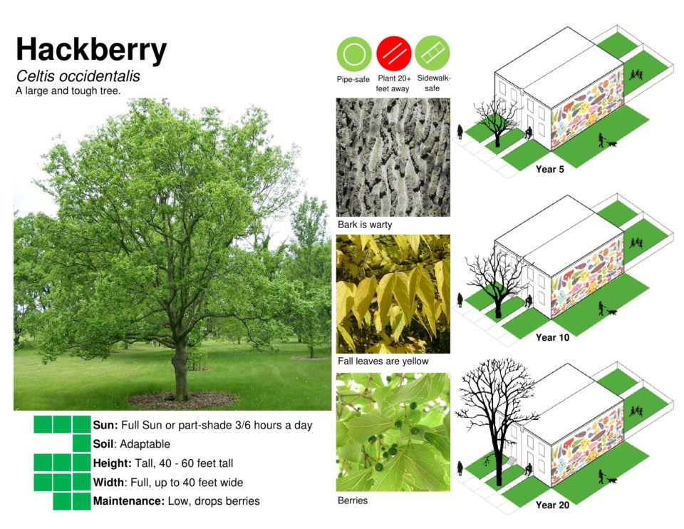 Information about a Hackberry Tree