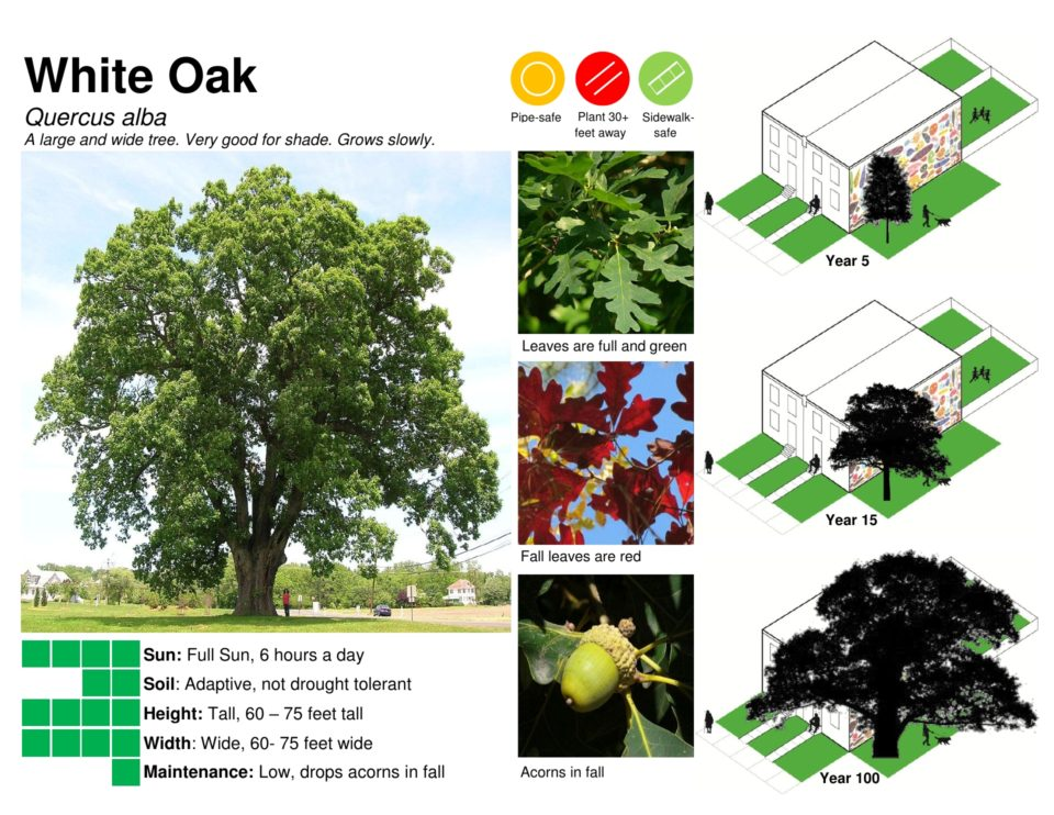 Info about a White oak tree